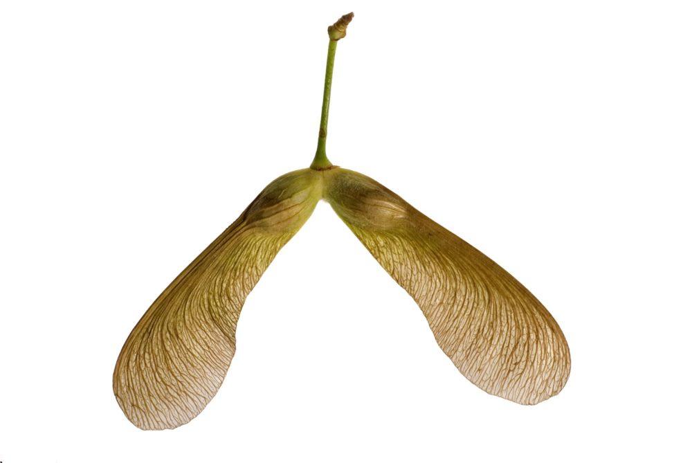 Esdoorn zaden